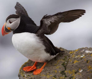 the atlantic puffin was made newfoundland and labrador s