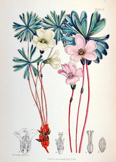 Vallentin illustration