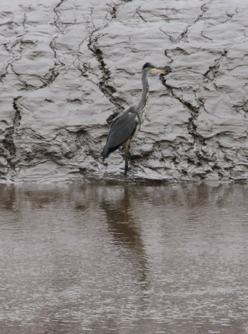 Young heron looking for fish on the Badenoch Estuary (c) Duncan Hutt