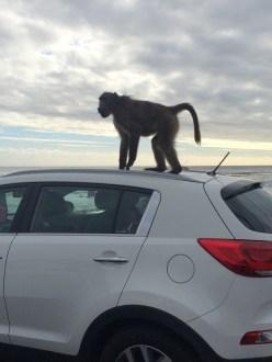 Baboon atop car