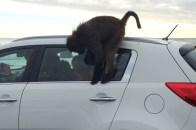Baboon peering in window