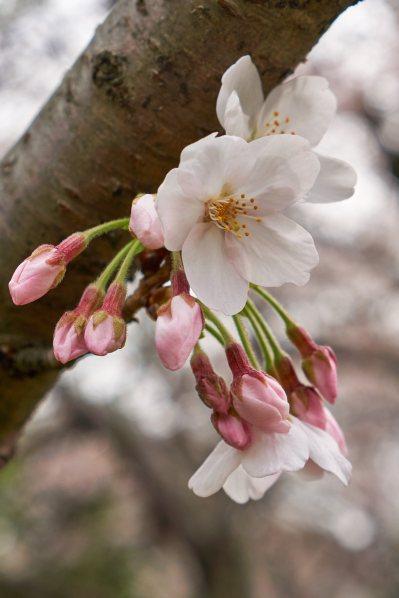Early sakura