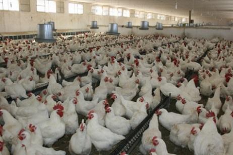 فيدرالية قطاع الدواجن: لا خوف على الدجاج