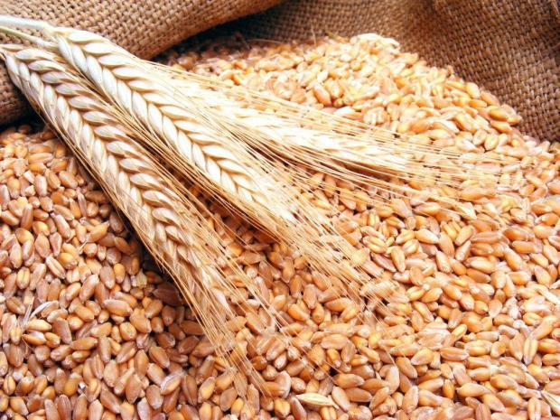 الصابة زينة هاد العام.. إنتاج القمح والشعير بلغ 96 مليون قنطار