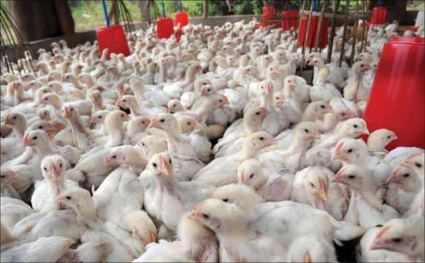 أعلاف مسرطنة في ضيعات للدواجن.. حظيو راسكم من الدجاج
