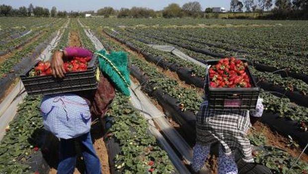400 درهم لليوم.. نساء جرادة مطلوبات للعمل في حقول الفريز في إسبانيا