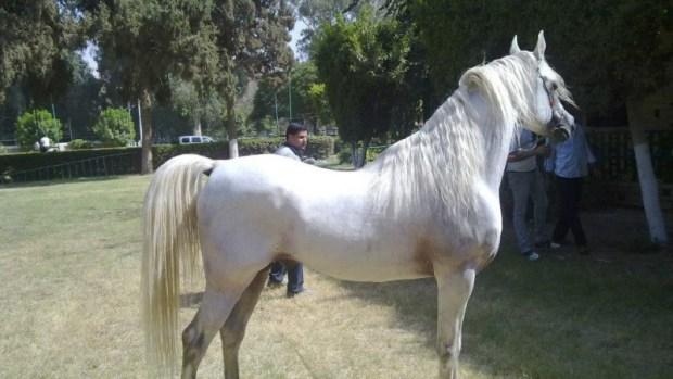 ثمنه لا يقل عن 10 ملايين دولار.. نفوق أجمل حصان في مصر