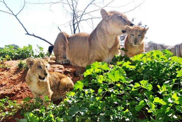 """حديقة الحيوانات الرباط.. ولادة 4 أشبال وتوأم حيوان الليمور من صنف """"كاتا"""""""