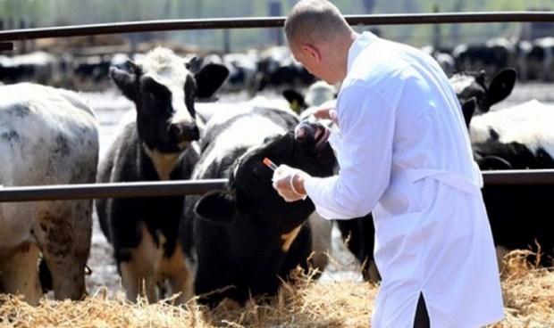 لا حمى قلاعية في وجدة.. حملة واسعة لتلقيح الأبقار في الجهة الشرقية