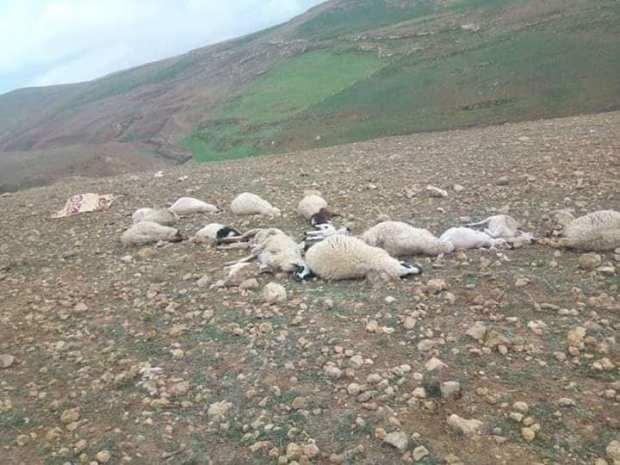 بالصور من مولاي إبراهيم.. صاعقة رعدية تقتل راعيا رفقة أغنامه