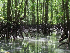 The flooded Mangrove forest