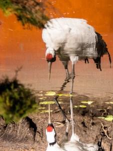 kraanvogel bij Avifauna