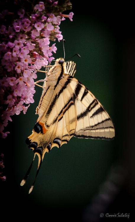 koningspage, Frankrijk