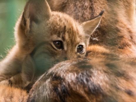 veilig bij mama - lynx Beierse Woud