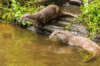 otters - Beierse Woud