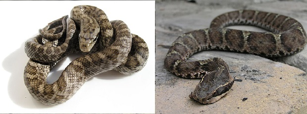 アオダイショウの幼蛇(左)とマムシ(右)