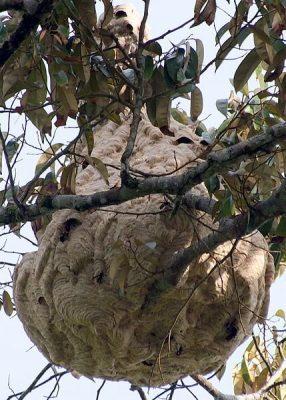 ツマアカスズメバチの巣