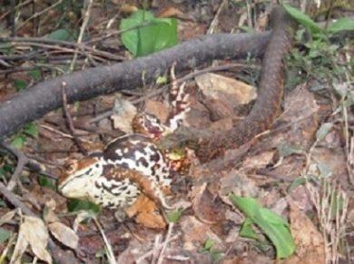 ヒキガエルを食べるヤマカガシ
