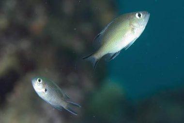 バラフエダイの幼魚