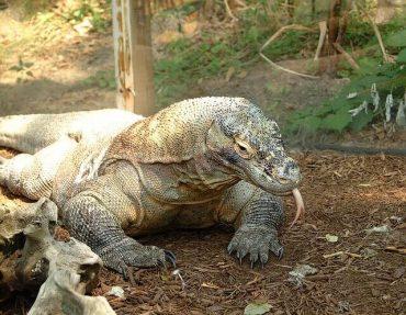 コモドオオトカゲ(コモドドラゴン)