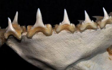 ホオジロザメの歯