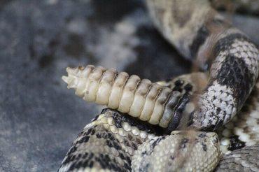 ガラガラヘビ シッポ