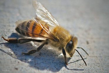 アフリカナイズドミツバチ(キラービー)