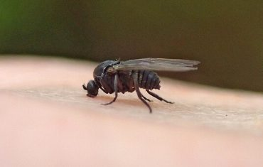 大き さ ブヨ 夏は虫刺されに注意!『ブヨ』との戦い・対策対処の完全ドキュメンタリー
