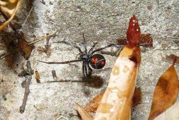 クロゴケグモ