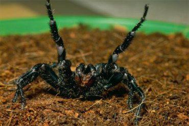 シドニージョウゴグモ