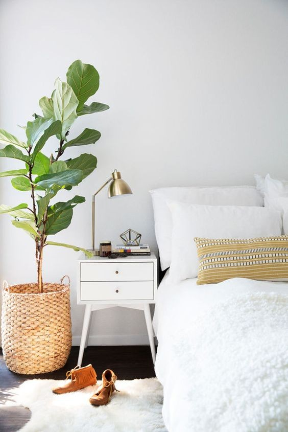 where can you purchase a fiddle leaf fig tree