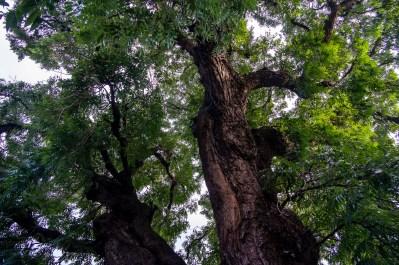 Ältester Baum Boliviens - und, wer hat ein paar Samen? ;)