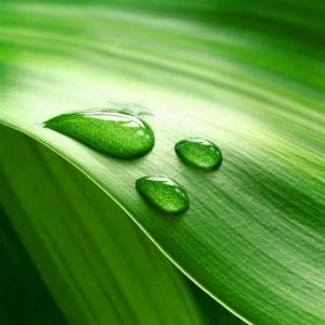 LeafDew