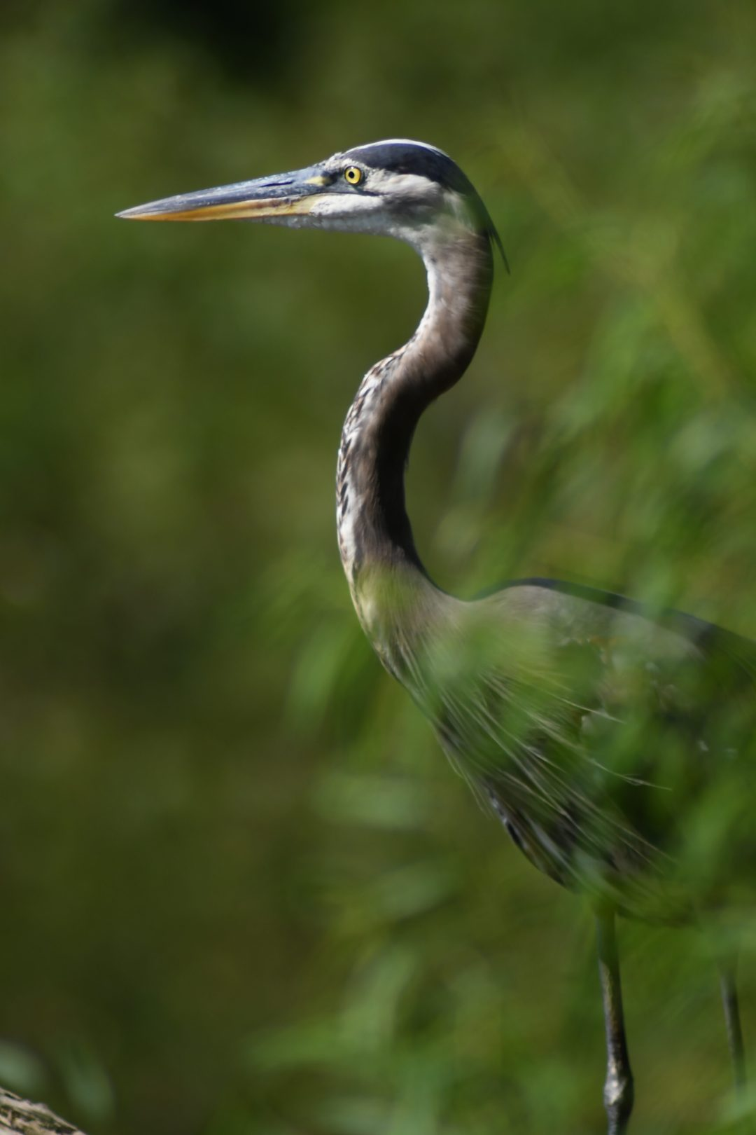 Great blue heron, Peace Valley