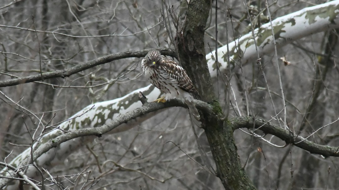 Red-tail looking at frog