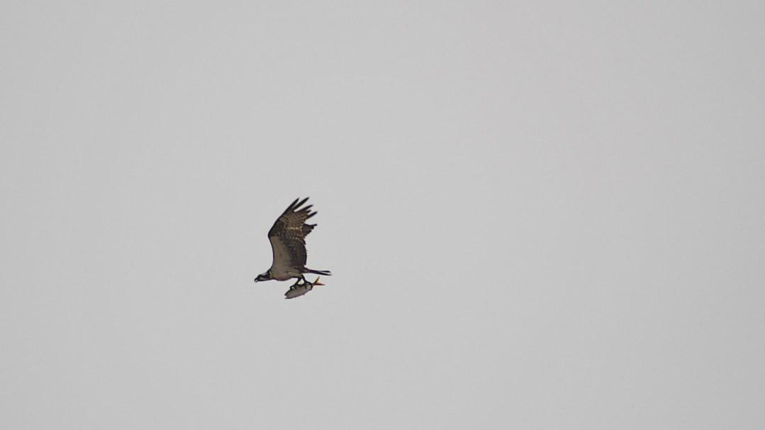 Osprey, shad