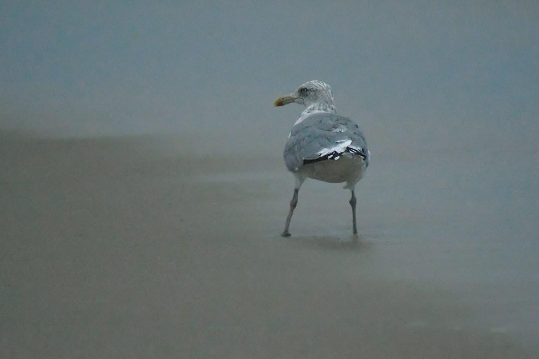 Gull 2 legs