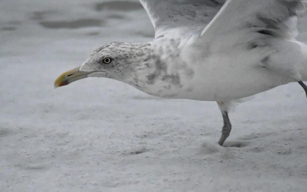 Gull head surf