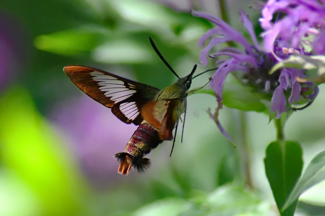 Hummingbird moth 2, Churchville Nature Center