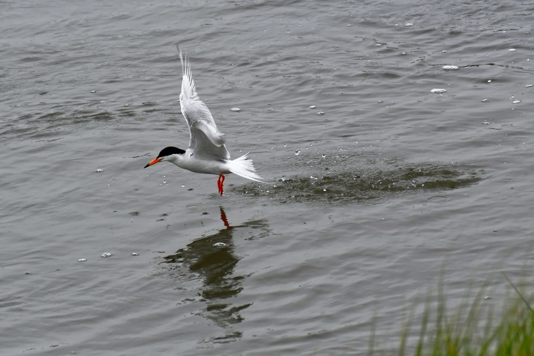 Common tern moving on