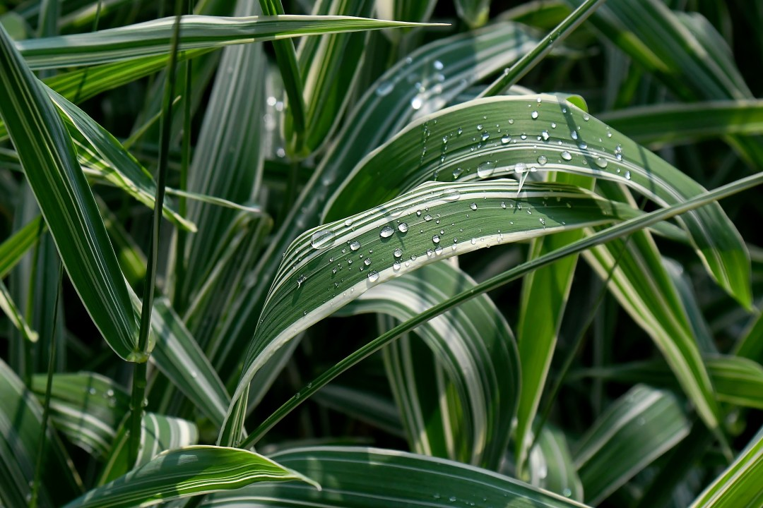 Variegated ribbon grass