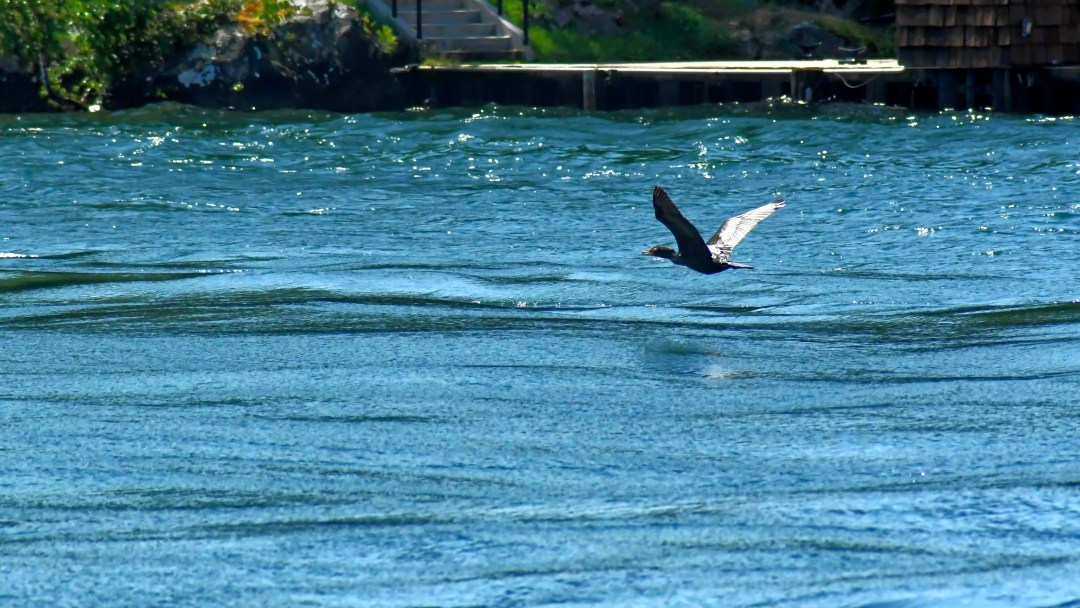 Cormorant, Thousand Islands