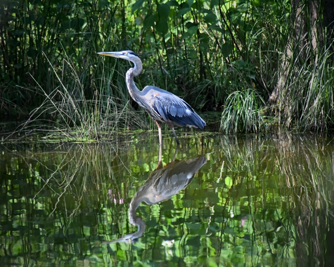 Great blue 2, Peace Valley