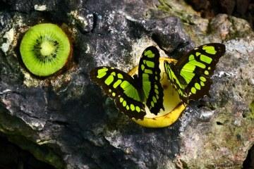 farfalle malachite presso la casa delle farfalle di cervia
