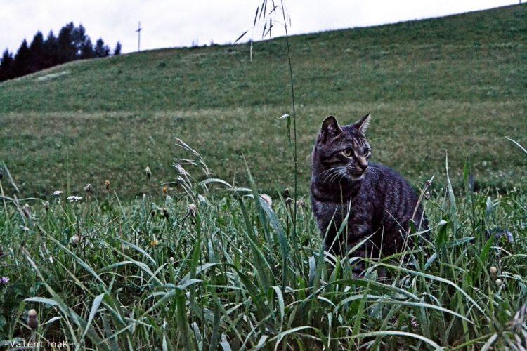 micio grigio tigrato, custode del paesino di Prato alla Drava