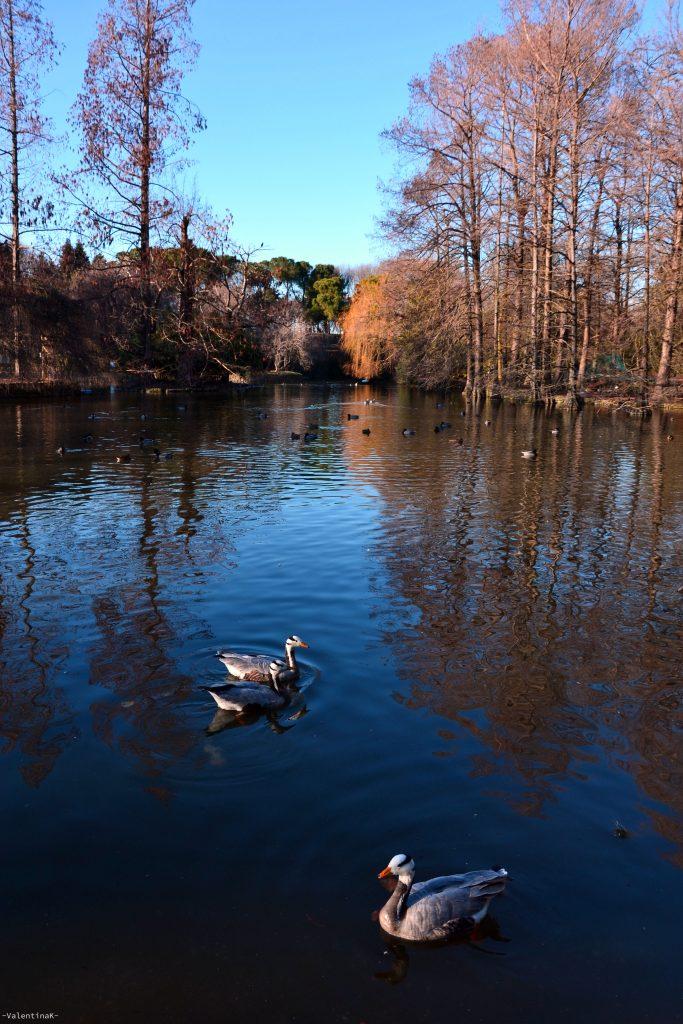 anatrine che nuotano felici nelle acque del parco bucci