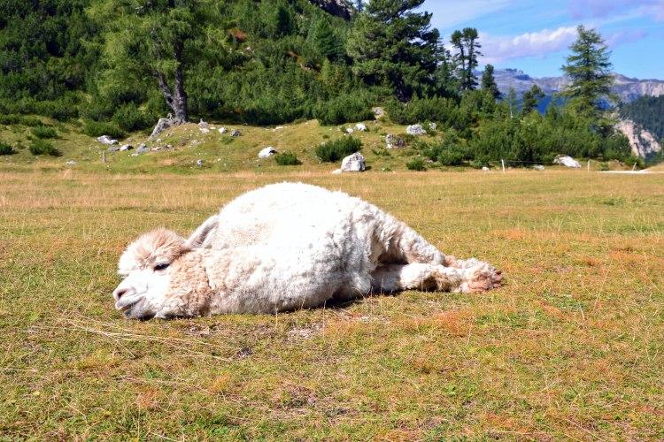 alpaca bianco coccolone al rifugio scotoni