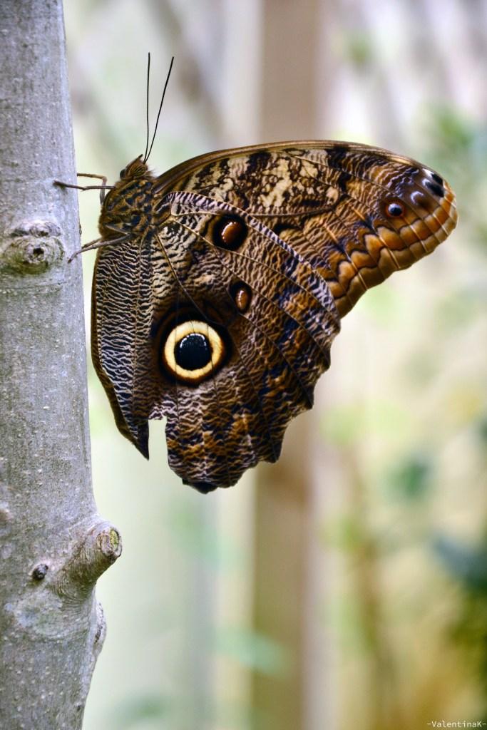 farfalla con bellissimi dettagli sulle ali, a forma di occhio di gufo