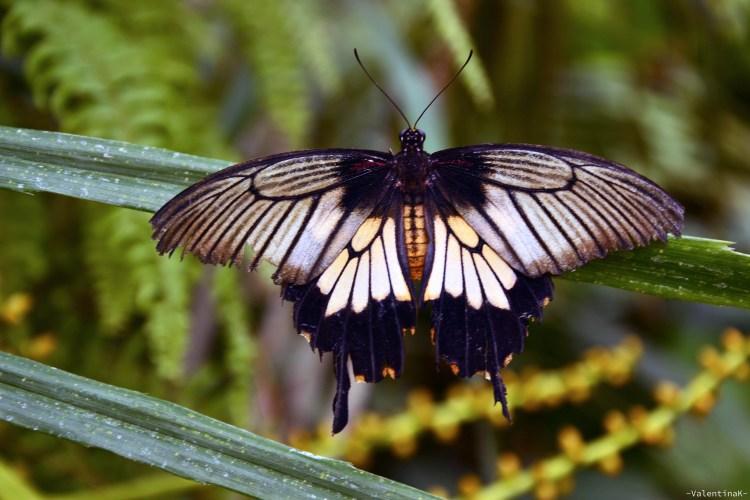 Farfalla bianca e nera alla casa delle farfalle di cervia