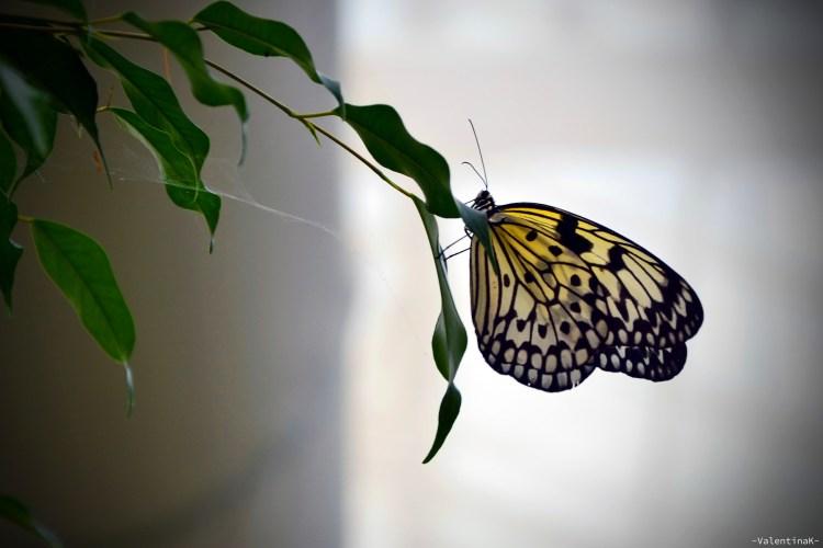 farfalla idea-leucone alla casa delle farfalle di cervia